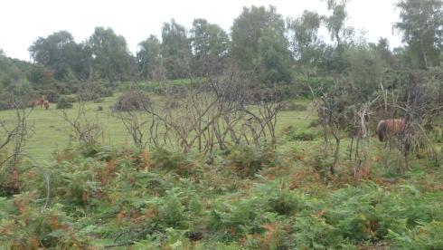 Chevaux en liberté dans la New Forest